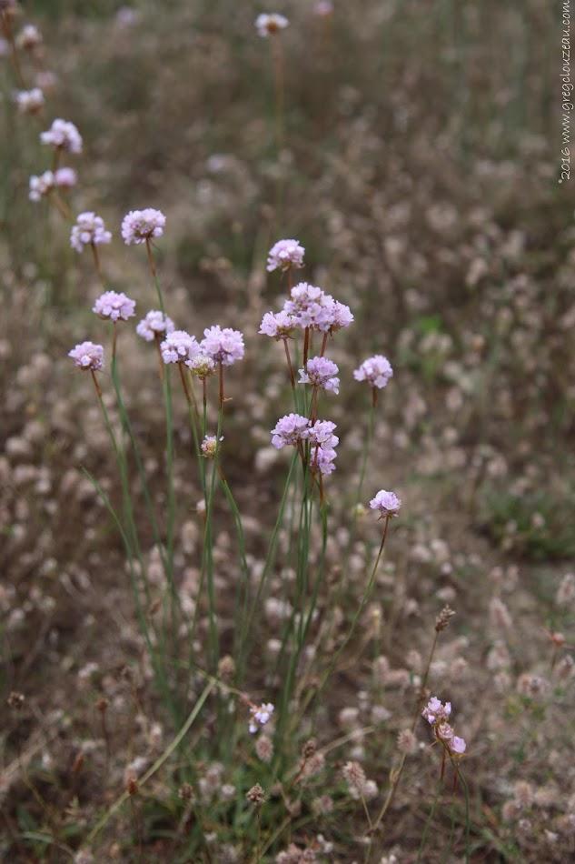 L'Armérie des sables (Armeria arenaria )