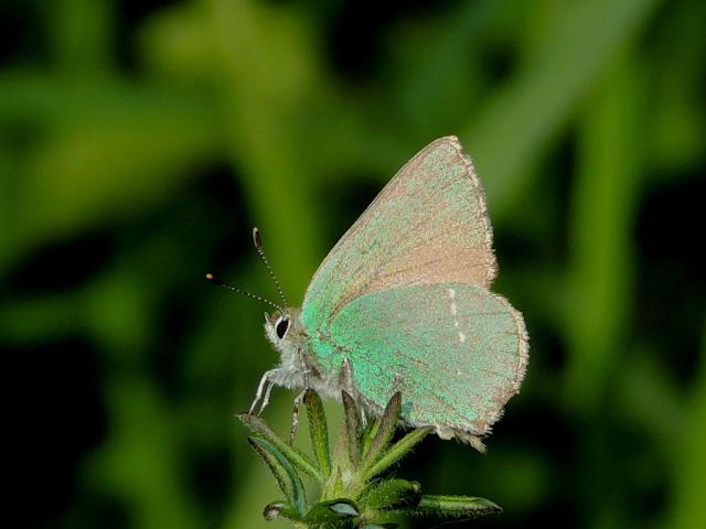 Censos de mariposas BMS en Pontevedra