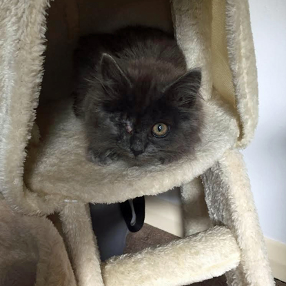 grey long-haired kitten sitting in fluffy beige cat tree