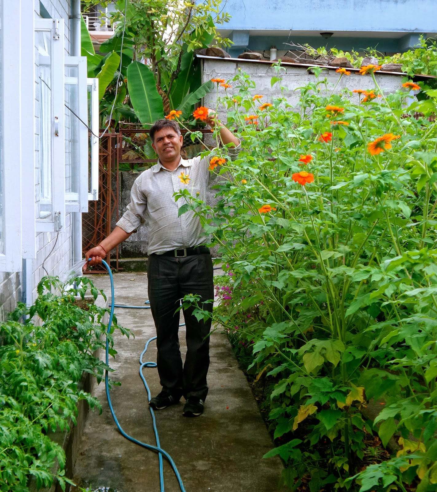heres our gardener khashi watering the tomatoes alongside the border of mexican sunflowers khashi is about 55 so you can see the mexican sunflowers are