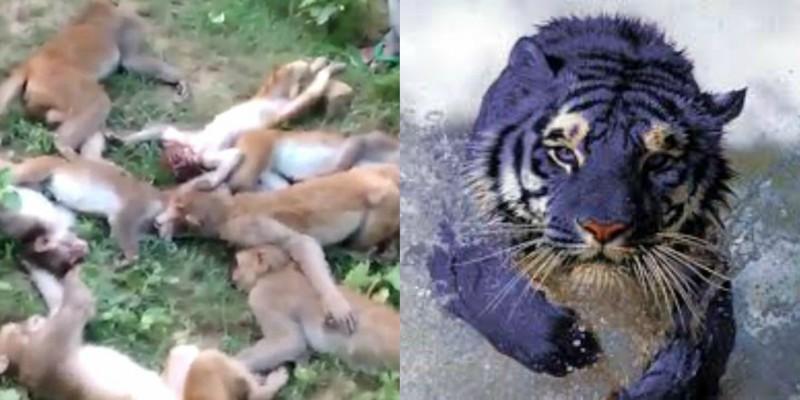 12 Πίθηκοι πέθαναν ταυτόχρονα από το φόβο τους, όταν άκουσαν τίγρης να βρυχάται  (βίντεο)