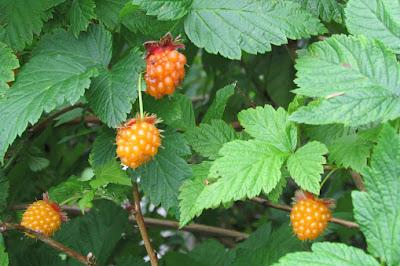 salmonberry, jenis jenis buah berry