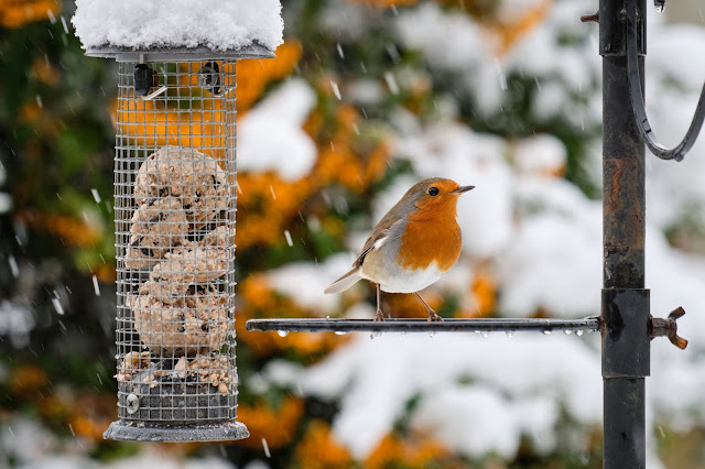 Robin on a feeder waiting to eat, in winter.