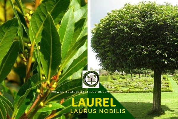 El Laurel, Laurus nobilis, árbol siempre verde de la familia Lauraceae