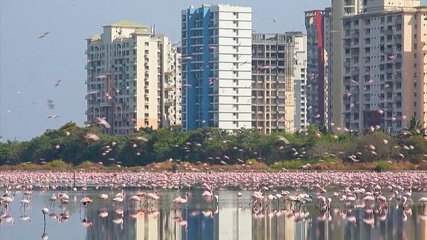 Εκπληκτικές εικόνες με χιλιάδες φλαμίνγκο στην Ινδία (βίντεο)