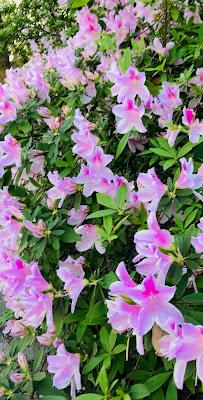 azalea; azalea indica; Mt. Pleasant; South Carolina; Giorgio Coniglio