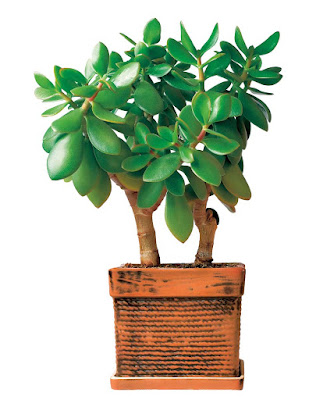 One of them is crassula, plant with fleshy green leaves, which is a great decoration for any home.