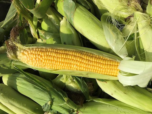 sweet corn minnesota nitrogen credit harvest