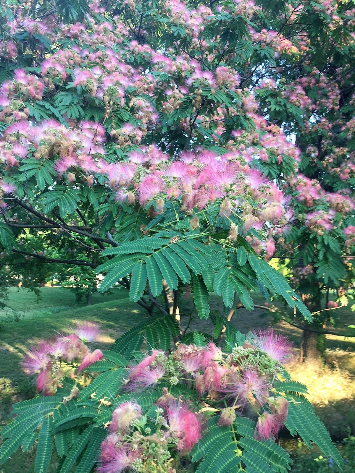 The Fragrant Journey Scented Paths The Smell Of Texas Mimosa Or