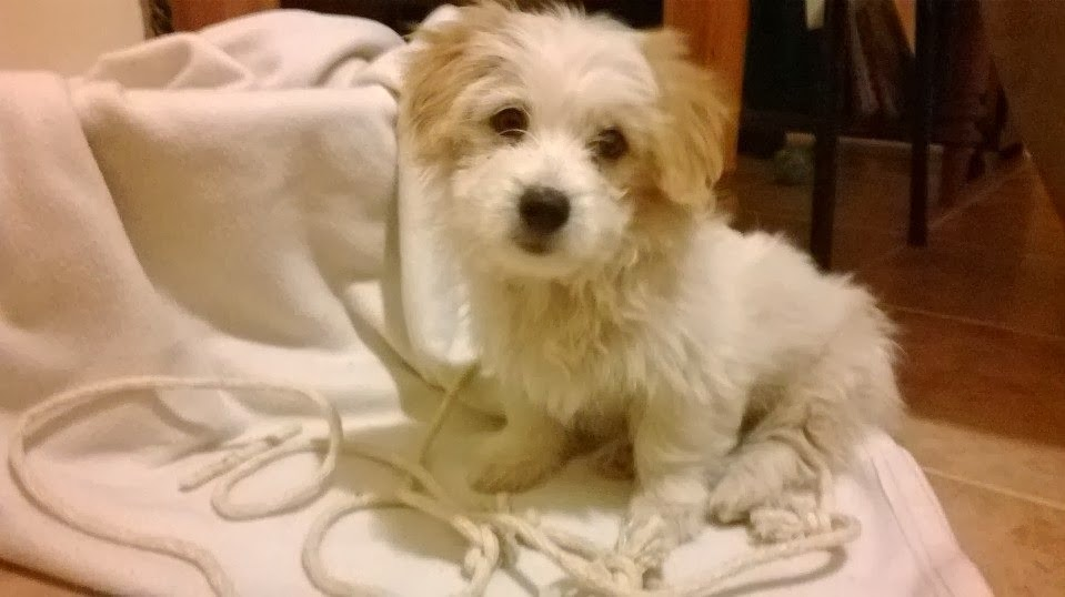 Lexi 2 month old Norfolk Terrier or Maltipoo