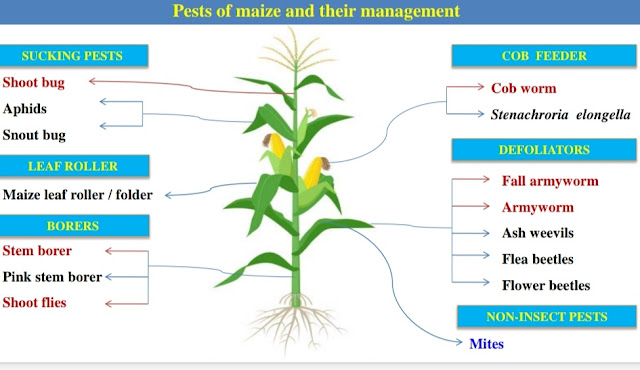 Pest of Maize and their Management by agrifunda