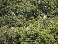 Grey herons at top of trees in heronry - Tokushima Central Park, Japan - © Denise Motard
