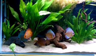 Tips merawat ikan hias discus
