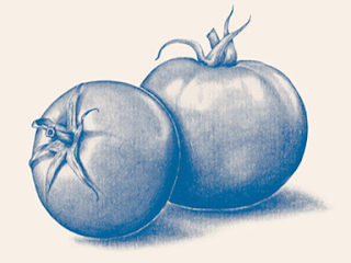 Sketsa Buah Tomat