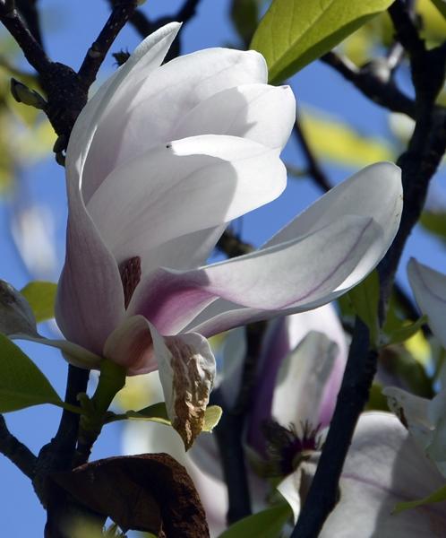 mangolia