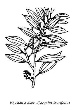Hình vẽ Vệ châu ô dược - Cocculus laurifolius - Nguyên liệu làm thuốc Chữa Đi Lỏng-Đau Bụng
