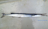 Keel-jawed Needlefish