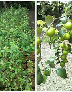 bibit-apel-india.jpg