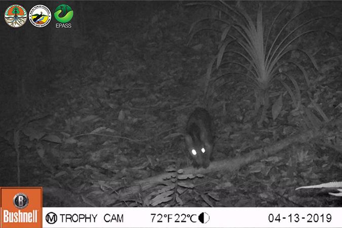 Dlium.com Sulawesi palm civet (Macrogalidia musschenbroekii) appears again in Bogani Nani Wartabone National Park