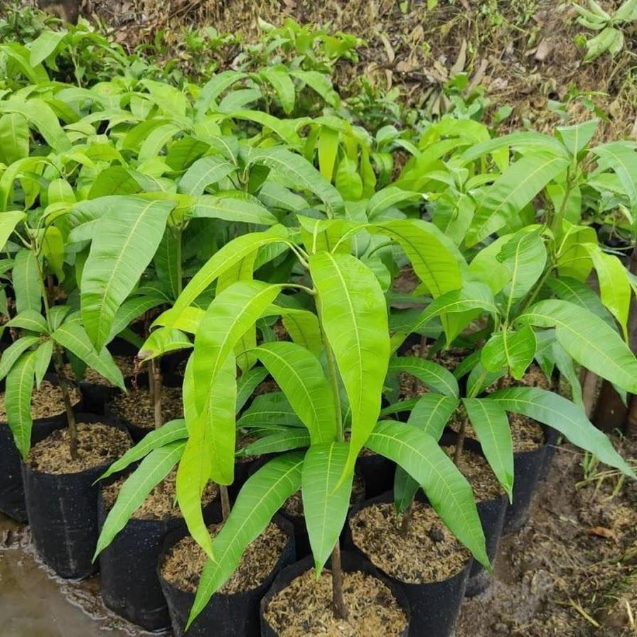 COD Bibit mangga chokanan hasil stek okulasi cepat berbuah Banjar