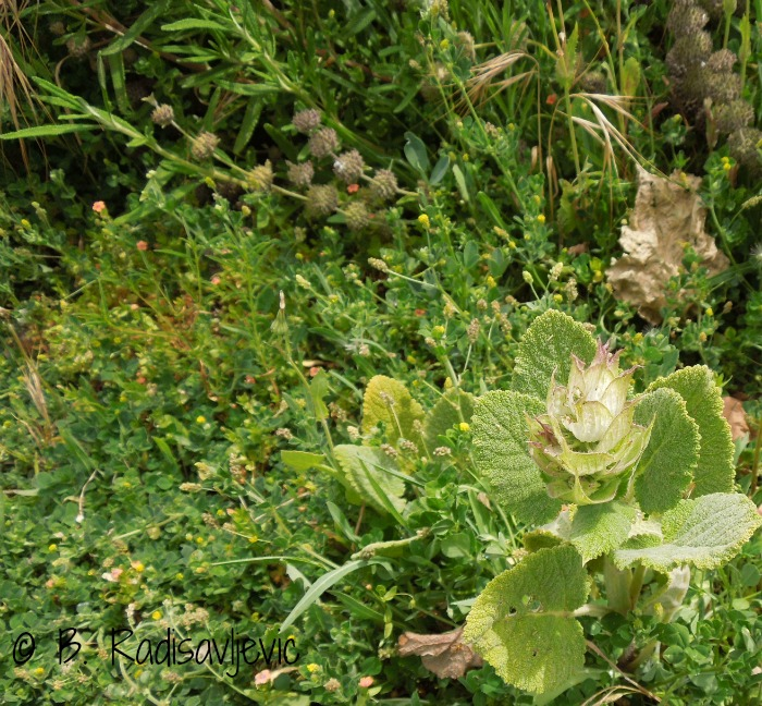 The Mystery of the Baby Clary Sage