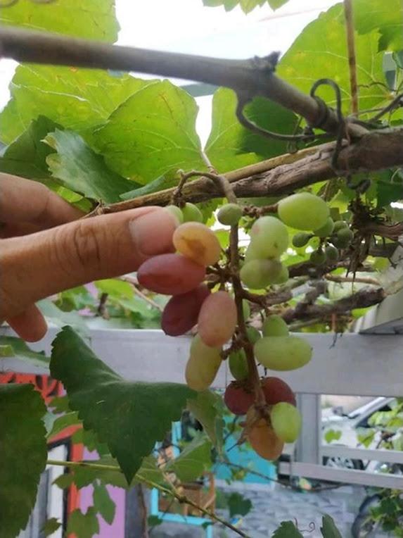 Bibit Anggur import jenis Jupiter genjah Makassar