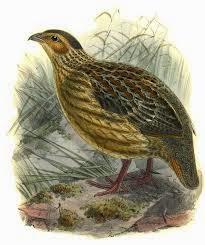 Francolín angoleño: Francolinus  Pternistis griseostriatus