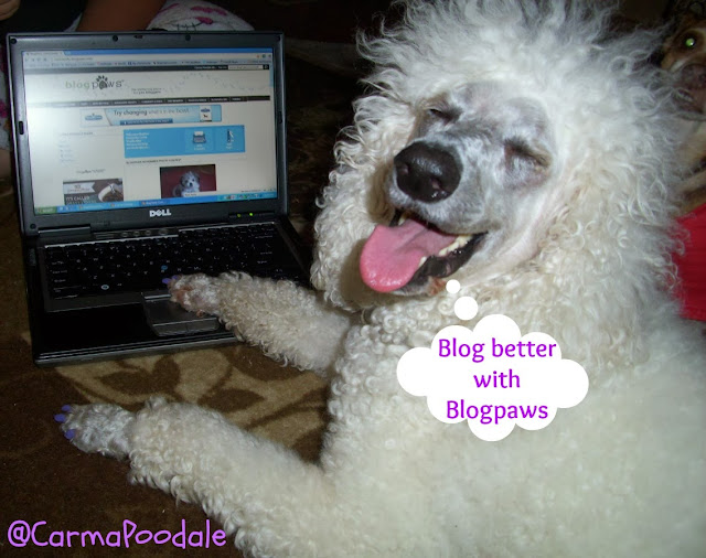 Carma Poodale, white standard poodle says blog better with blogpaws