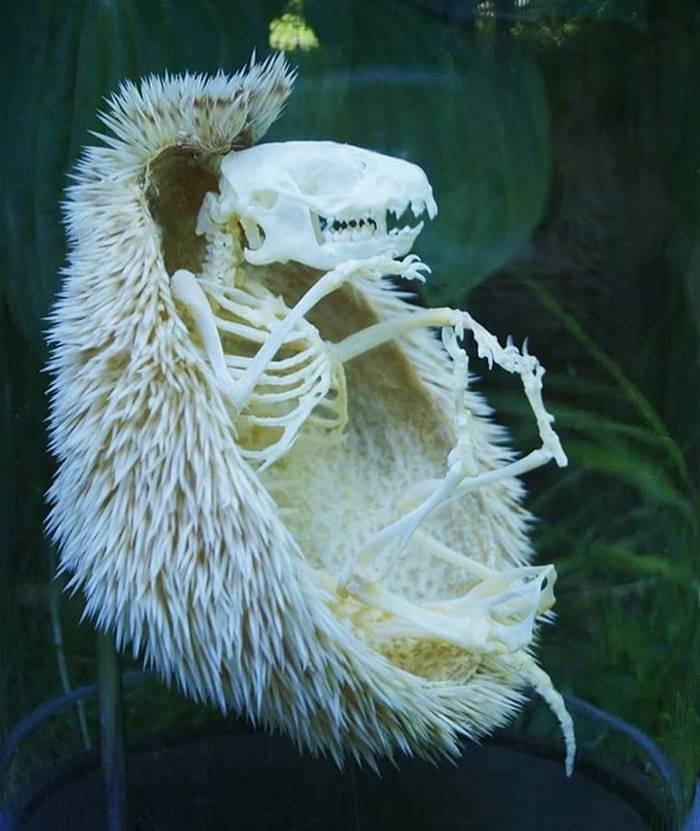A hedgehog skeleton