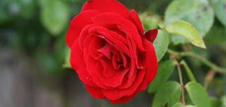 الورد الجوري أزهار وورود عطرية rose aromatic flowers