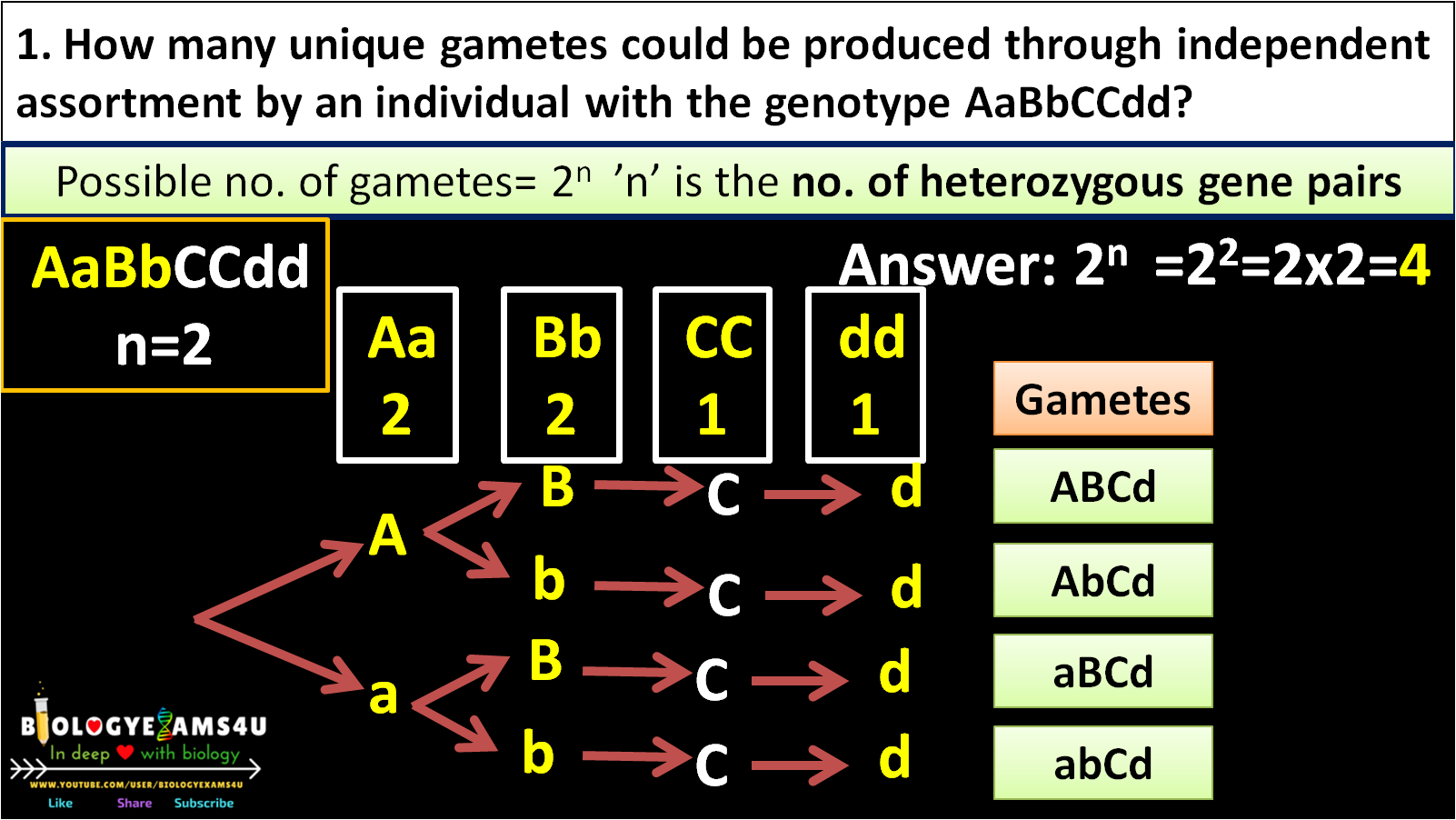 How to calculate the number of different possible gametes are produced by the diploid genotype
