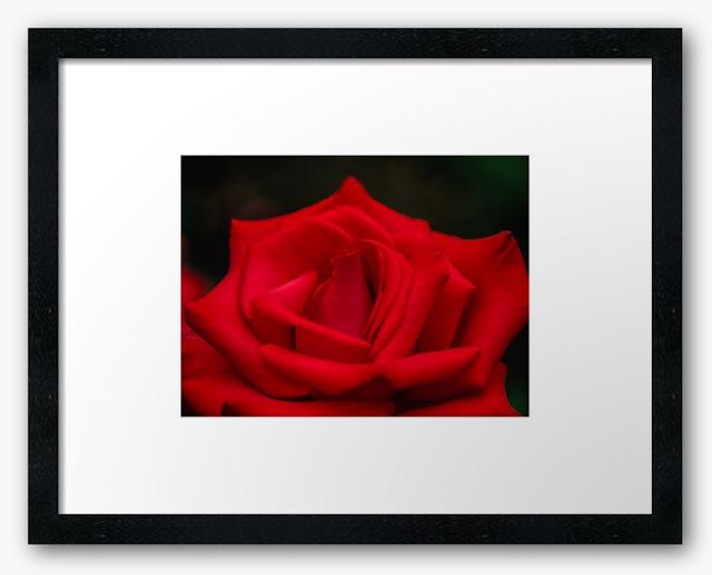 Timeless red rose