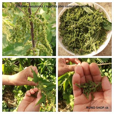Divoká jedlá rastlina Pŕhľava dvojdomá / Kopřiva -semiačka