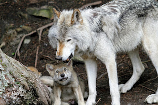An adult gray wolf with puppy. Help save America's wolves. Photo by ML on Unsplash.