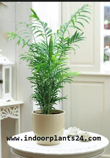 Chamaedorea Elegans Palmae indoor house plant image