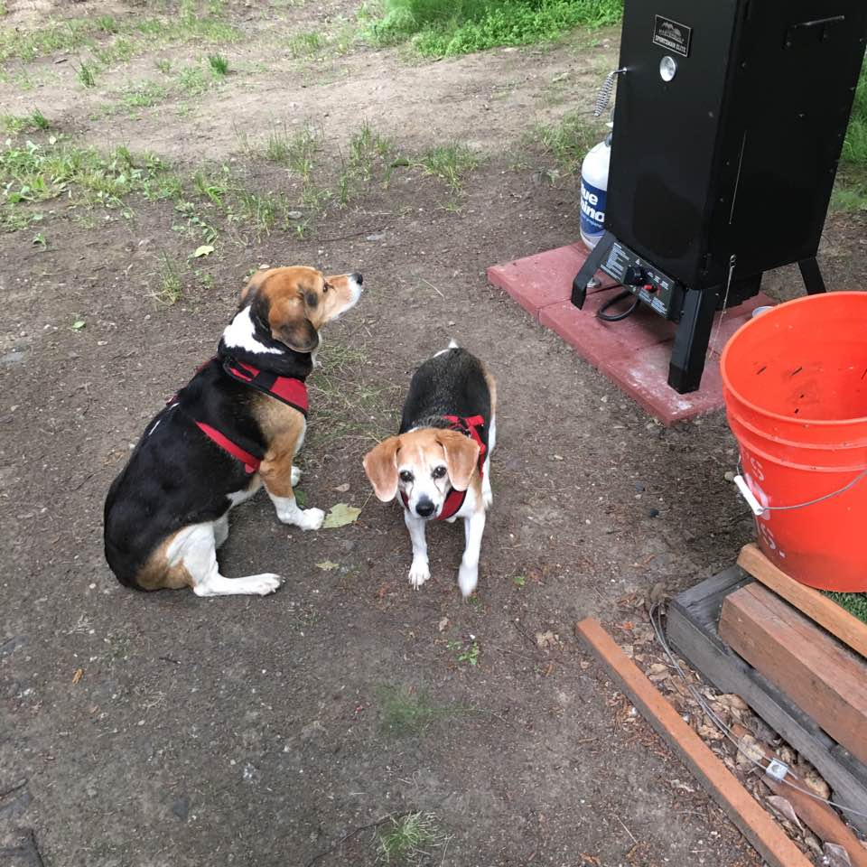 Image Result For Local Beagles For