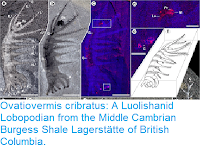 https://sciencythoughts.blogspot.com/2017/02/ovatiovermis-cribratus-luolishanid.html
