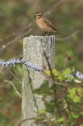 Whinchat  near owl point.