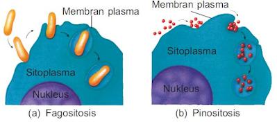 Gambar  . Mekanisme Endositosis
