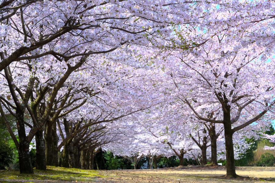 大乗寺丘陵公園の桜のトンネル