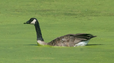 Canada goose (Branta canadensis)