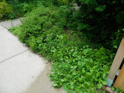 Leslieville Toronto front garden cleanup weeding before by Paul Jung Gardening Services