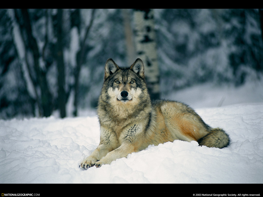 Monkey Blog: gray wolf pictures
