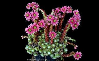 http://fotobabij.blogspot.com/2015/03/rojnik-pajeczynowaty-kwiaty-sempervivum.html