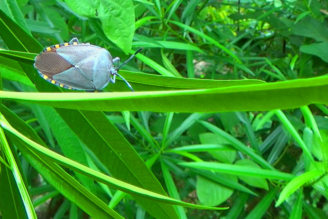 Dlium Giant shield bug (Pycanum alternatum)