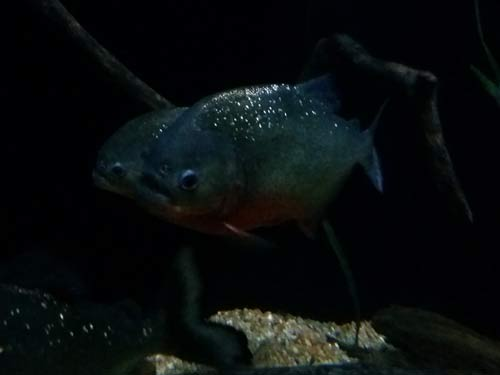 Red-Breasted Piranha