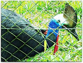 O exótico casuar do Parque Zoológico de Sapucaia