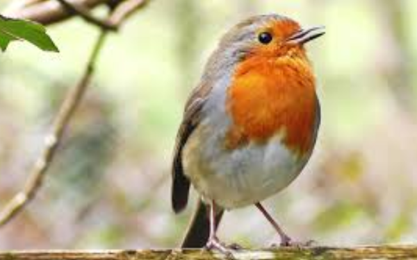 Kenapa Pria Suka Memelihara Burung Kicau?