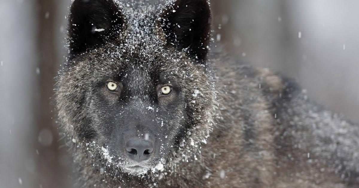 Beautiful And Dangerous Animals Birds Hd Wallpapers: Black Wolf Fresh Hd Desktop Wallpapers 2013