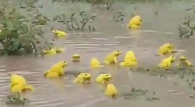 नरसिंहपुर में दिखे अच्छी बारिश का संदेश देने वाले दुर्लभ प्रजाति के पीले मेंढक